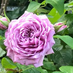 薔薇の挿し木のその後