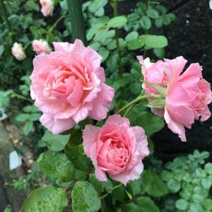今朝の薔薇とカミキリムシ