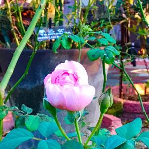 薔薇とセンペルビューム