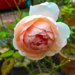 雨の中の薔薇と可愛いエケベリア