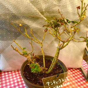 鉢薔薇の剪定8