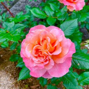 薔薇のシュート