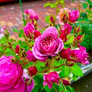雨に強い薔薇