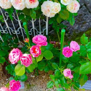 品種違いだった薔薇の代替え品