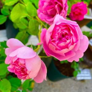 鉢薔薇のお礼肥