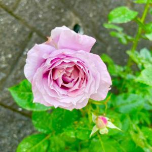 薔薇の挿し木