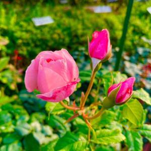 薔薇のシュート処理