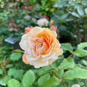 小輪の薔薇を解く