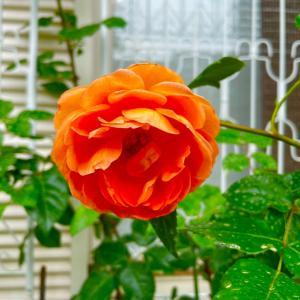 生育の悪い薔薇を路地植えにしました
