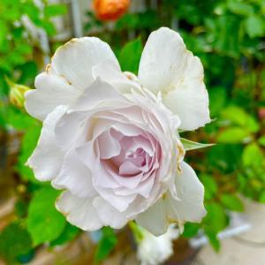 薔薇の鉢増し