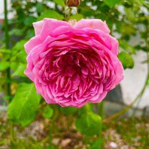 薔薇とPSB培養