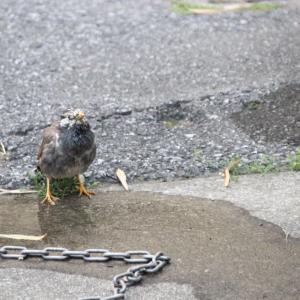 水飲みに来た鳥