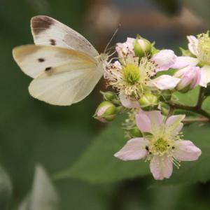 ミナミジサイチョウではないが、蜜を吸いに来る!
