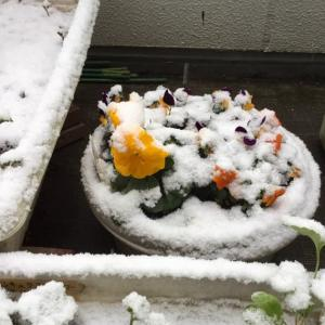 初雪で初冠雪デス