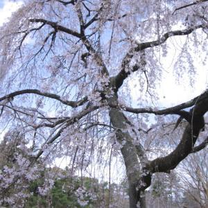 京都御苑 桜