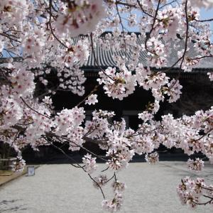 真如堂 桜