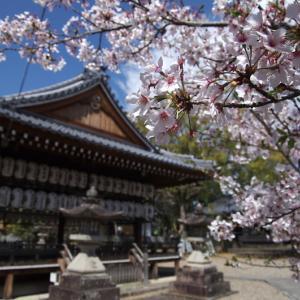 向日神社 桜