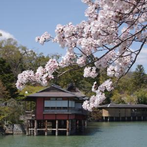 長岡天神 桜