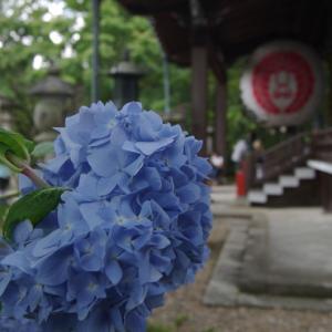 柳谷観音 紫陽花2