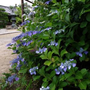 山崎聖天 紫陽花