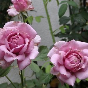 6月最後のバラ