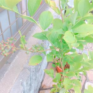 ブルーベリーの生命力を見た!!肥料焼けから生き返ってきた我が家のブルーベリーちゃん☆