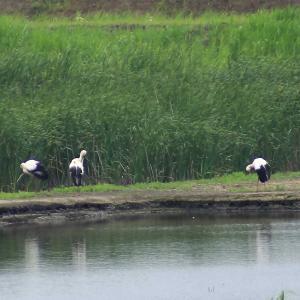 コウノトリを見に渡良瀬遊水地へ