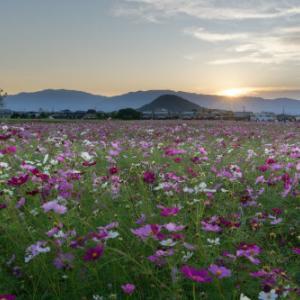 コスモス畑の夕暮れ