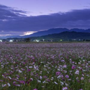 コスモス畑の夜明け