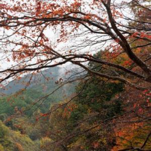 紅葉 ~雨中の散り
