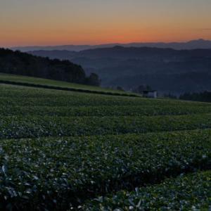 茶畑の輝き