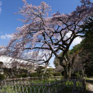 山麓沿いの桜