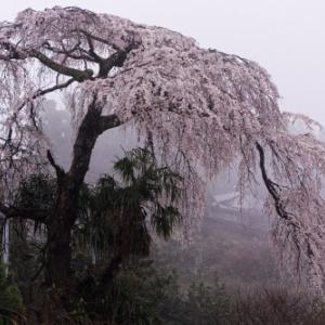 霧中の枝垂れ桜