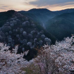 桜咲く ~下千本の夜明け