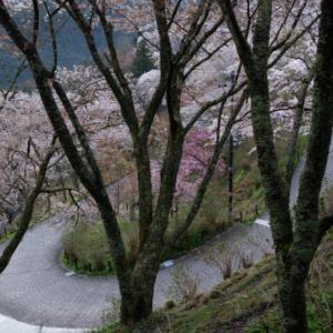 桜咲く ~下千本を歩く
