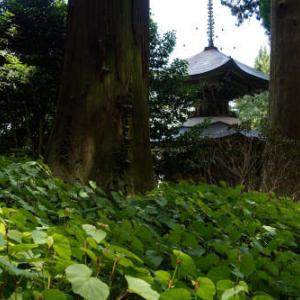 かなり早めの秋海棠