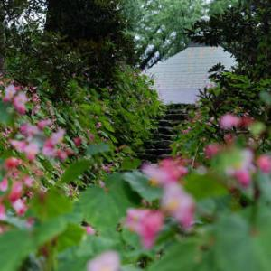 雨上がりの秋海棠