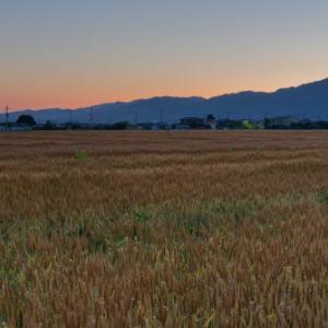 黄金(こがね)に光る麦畑