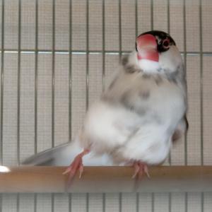 カイヌシの20%はやさしさ・・・もとい文鳥でできています