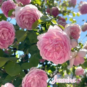 お庭のバラ♪ジャスミーナ ♪