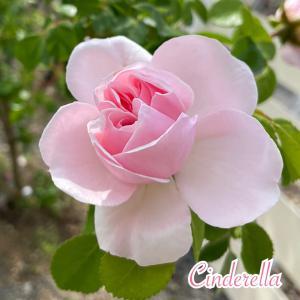お庭のバラ♪シンデレラ♪