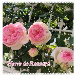 お庭のバラたち♪ジャスミーナとピエールドゥロンサール♪