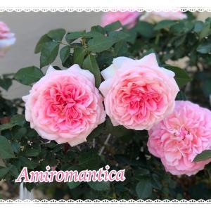 お庭のピンクローズ♪アミロマンティカとジャスミーナ♪
