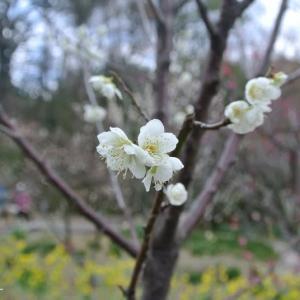 須磨離宮公園に梅を見に行きました!