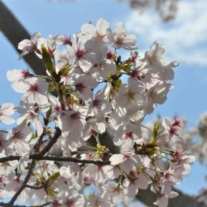 奥須磨公園の桜 2020 4月