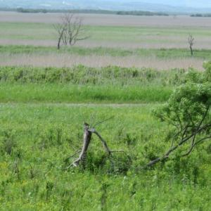 岩保木水門のオオジシギ