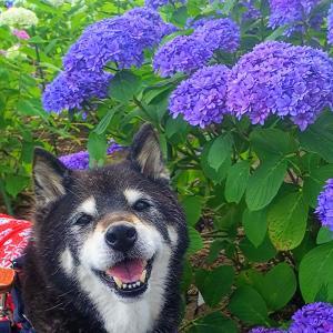 紫陽花と菊