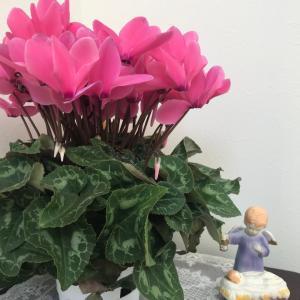 冬の鉢花♡シクラメンでパワーチャージしよう
