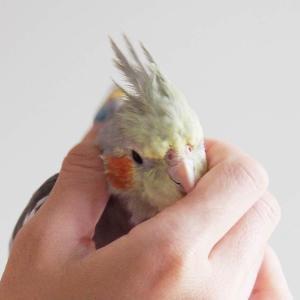 かごの中の鳥じゃない?!インコは意外と触れ合って楽しめる動物