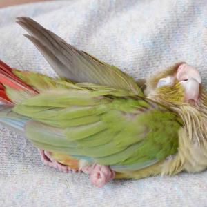 インコの雛が寝てばかりだけど大丈夫?